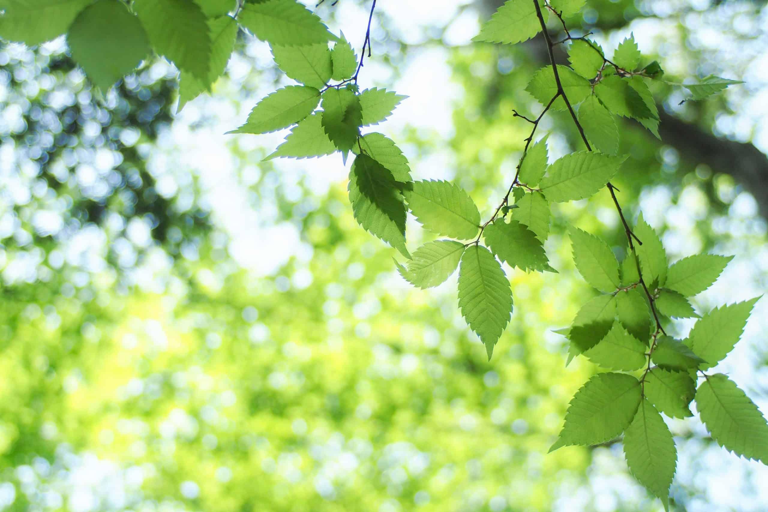 Blätterdach mit frischem grünem Laub